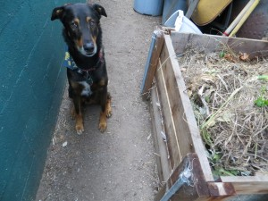 Eli and the compost pile 4-11-14 (2)