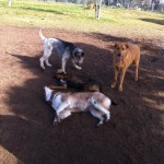 Gizmo, Murphy, Eli & Butter--the husky-- at the dog park 2-6-11