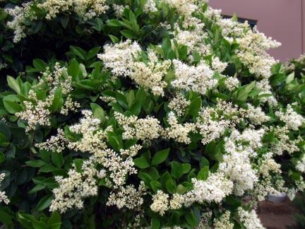 Flower Growing Zones Fragrant White Flower Bush