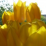 yellow tulips by April Halprin Wayland (c) 2011